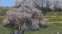 Tourists Visit Huge Wisteria Tree In Park