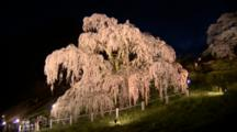 Tourists Visit Huge Wisteria Tree In Park At Night
