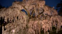 Tourists Visit Huge Wisteria Tree At Night