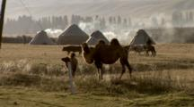 Camels Eating Grass Near Yurts, Cattle Herded Behind