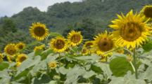 Honeybees Feed On Sunflowers