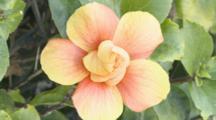 Pink Hibiscus Flower Bloom Under Sun