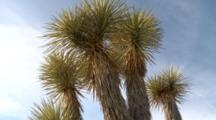 Joshua Trees Stand Against Blue Sky In Joshua Tree National Park