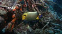 Blue Face Angel Fish On Reef