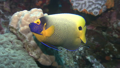 Blueface Angelfish On Reef