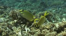 Rabbit Fish Or Spinefoot Feed On Reef