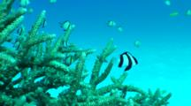 Damsel Fish, Possibly Reticulated Dascyllus, Swim Above Hard Coral And Sand