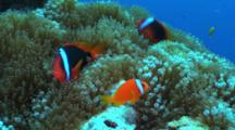 Tomato Anemone Fish On Host Anemone