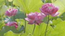 Pink Lotus Flowers Moving In Breeze