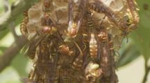 Vespidae Wasps Moving On Honeycomb