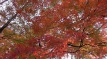 Red Maple Leaves Moving With Breeze In Japan