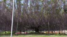 Huge Wisteria Tree With Supported Branches