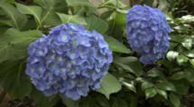 Close Up Hydrangea Flower