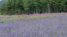 Lavender And Other Flower Fields
