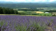 Lavender Fields Above Valley