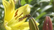 Dragonfly On Lily Bloom