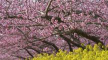 Blossoming Fruit Trees, Possibly Cherry