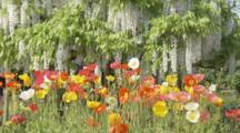 Poppies Grow Below Wisteria