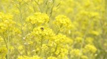 Bees On Flowers Of Rapeseed Or Mustard