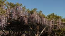 Impressive Wisteria Blossoms Hang Down From Tree