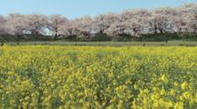 People Walk Near Rape Blossoms And Flowering Cherry Trees