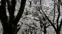 Flowering Cherry Trees With Dark Bark