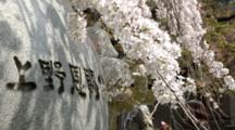 People Walk By Cherry Blossoms And Rock With Inscription