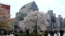 Flowering Cherry Tree On Tokyo Street