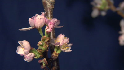 Time Lapse, Blossoms, Possibly Cherry, Opening