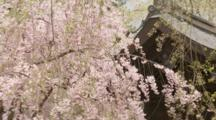 Building Behind Blossoming Cherry Tree