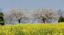 Rape Or Mustard Blossoms And Flowering Cherry Trees