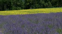 Lavender Field With Yellow Field In Background