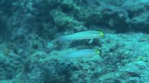 Pair Of Bluestreak Gobies Swim Over Reef