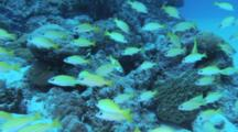 Yellow Striped Fish, Possibly Snapper Or Fusiliers, Over Reef