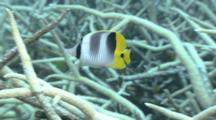 Double Saddle Butterflyfish Swims Around Reef