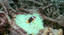 Pair Of Anemonefish In Very White, Possibly Bleached Anemone