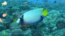 Emperor Angelfish On Reef