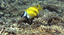 Pair Of Foxface Rabbitfish On Hard Coral Reef