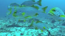 Oriental Sweetlips School Over Reef
