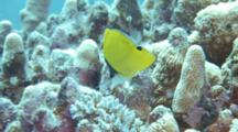Long-Nosed Butterflyfish Feeds On Coral