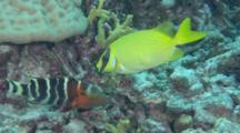 Blue-Lined Spinefoot Or Rabbitfish