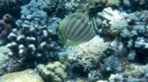 Butterflyfish, Possibly Ornate, Feeds On Reef