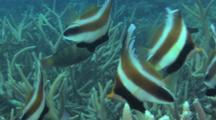 Pennant Bannerfish Swim Around Hard Coral