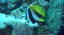 Masked Bannerfish On Reef