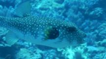 White-Spotted Puffer Swims Slowly
