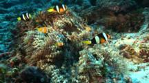 Family Of Clark's Anemonefish In Corkscrew Anemone