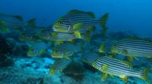 School Of Oriental Sweetlips On Reef