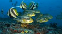 School Of Longfin Bannerfish And Oriental Sweetlips On Reef