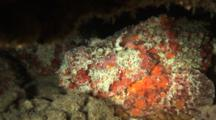 Stonefish Camouflaged On Reef