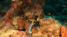 Blue Ribbon Eel In Hole On Reef With Mouth Open